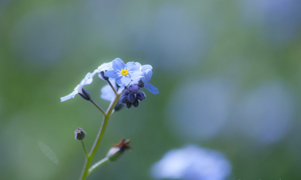myosotis flower